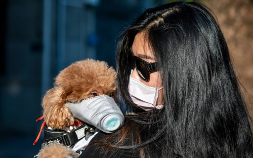 Poodle, owner and protective masks